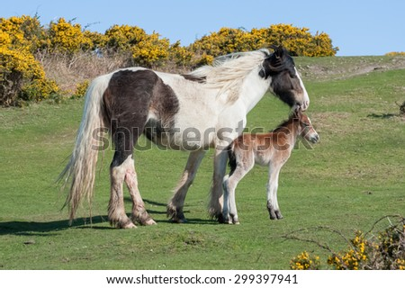 welsh pony with three hour old newborn foal - stock photo