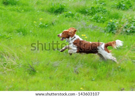 Welsh Springer Spaniel Running Through Grass With Flowers