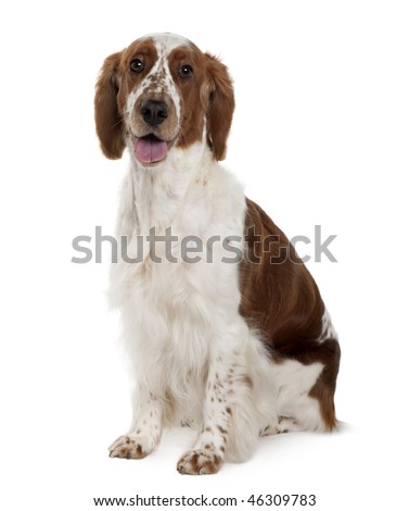 Welsh Springer spaniel, 3 years old, sitting in front of white background - stock photo