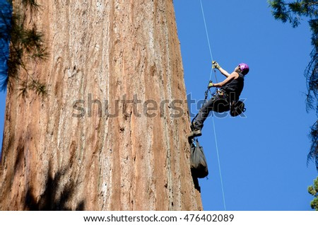 Wendy Baxter, research scientist, climbing a giant sequoia to take leaf samples from the top of the tree to determine water response to the California drought.