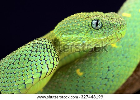 West African bush viper (Atheris chlorechis) - stock photo