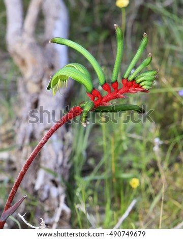 West Australian Red and Green Kangaroo Paw