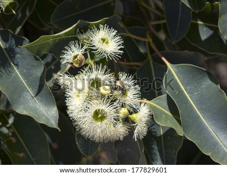 West australian tall river red gum stock photo royalty free west australian tall river red gum eucalyptus camaldulensis white blossoms in late summer attract mightylinksfo