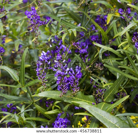 West Australian wildflower native creeper Hardenbergia violaceae with deep purple pea shaped flowers  in winter bloom adds color to the bush and parklands attracting bees and native honey eater birds. - stock photo