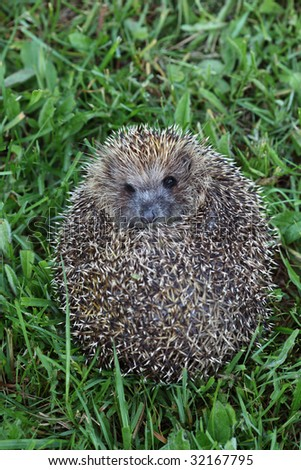 West European hedgehog (Erinaceus europaeus) - stock photo