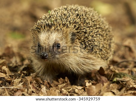 West European Hedgehog (Erinaceus europaeus)         - stock photo