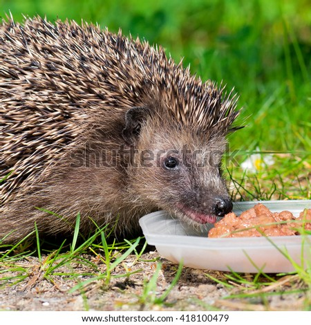 West european hedgehog (Erinaceus europaeus) feeding on a green meadow