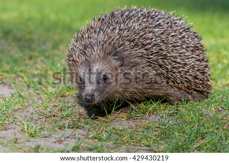 West european hedgehog (Erinaceus europaeus) in nature