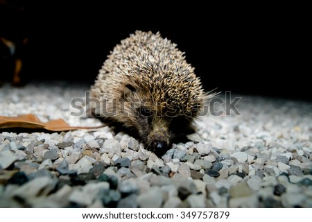 West European Hedgehog Wild Mammal (Erinaceus Europaeus) - stock photo