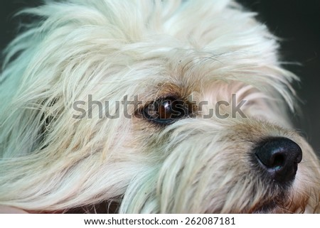 west highland brown terrier muzzle - stock photo