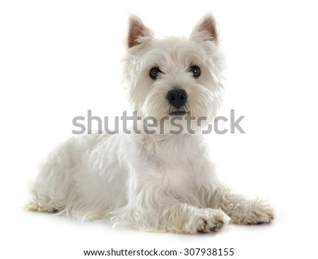 west highland terrier in front of white background - stock photo