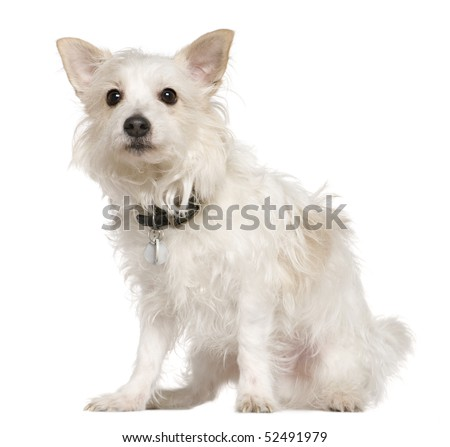 West highland white terrier pictures, west highland white terrier photos, dog pictures, dog photos, puppy pictures