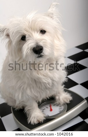 West Highland Terrier on a scale - stock photo