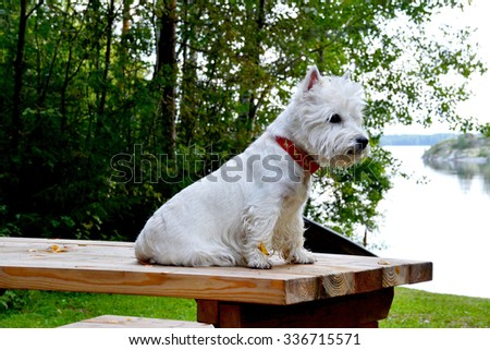 West highland terrier on the wooden table - stock photo