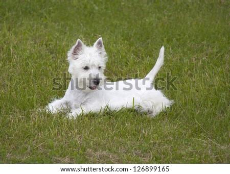 West Highland Terrier puppy