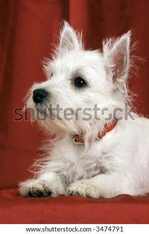 West Highland Terrier puppy on red background
