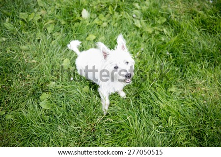 West Highland Terrier Puppy Resting on Green Grass in Backyard - stock photo