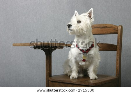 West Highland Terrier sitting at attention on an old-fashion school desk - stock photo
