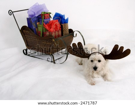 West Highland Terrier wearing reindeer antlers and sitting in front of a miniature sleigh full of Christmas presents - stock photo