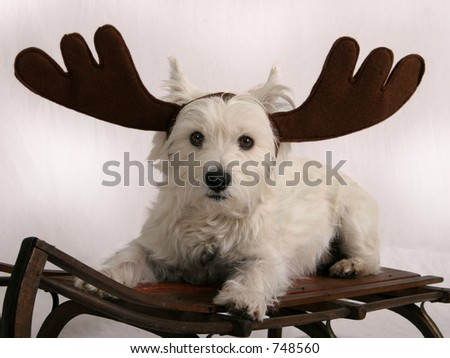 West Highland Terrier with reindeer antlers sitting on sled - stock photo