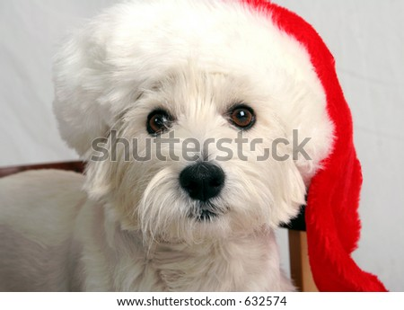 West Highland Terrier with Santa Claus hat on - stock photo