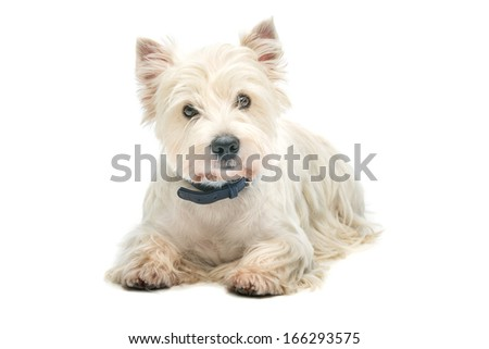 West highland whit terrier lying over white background - stock photo