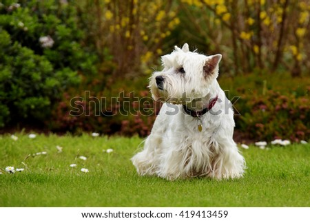 West Highland White Terrier - stock photo