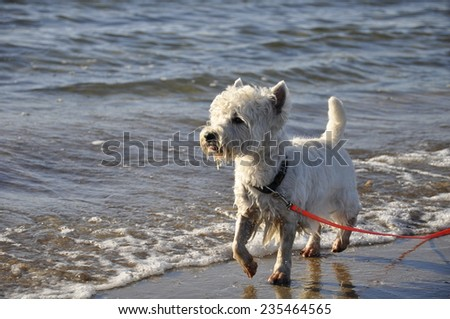 West Highland White Terrier at the seaside - stock photo