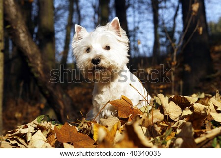 West Highland White Terrier - autumn scene - stock photo