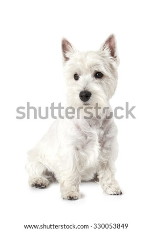 West Highland White Terrier dog isolated on white background in studio