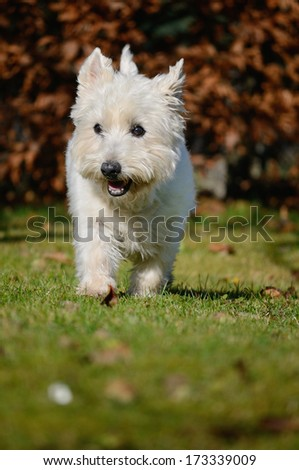 West Highland White Terrier Dog 13 years  - stock photo