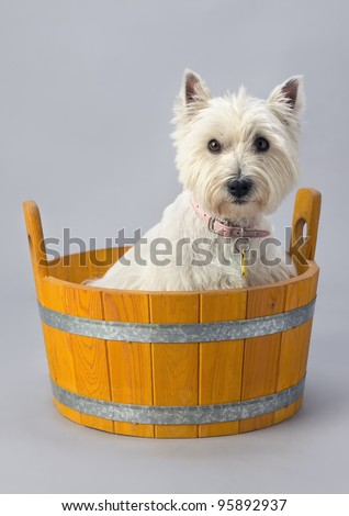 West highland white terrier in wooden wash tub - stock photo