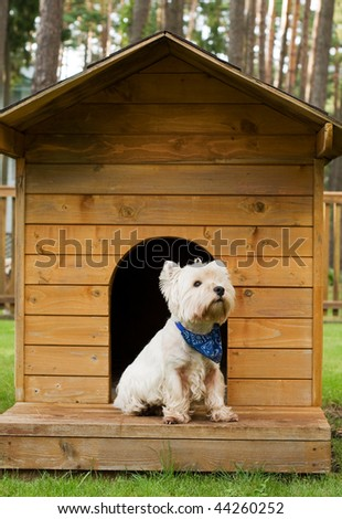 West highland white terrier it the hut - stock photo