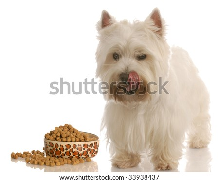 west highland white terrier licking lips standing beside food dish - stock photo