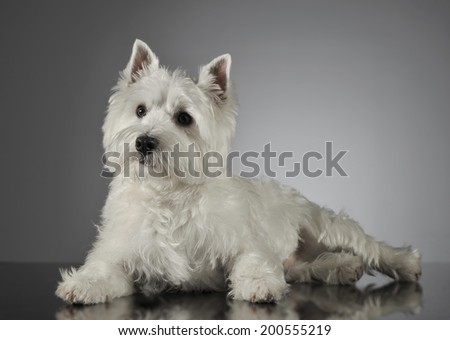 West Highland White Terrier lying in a shiny gray background - stock photo