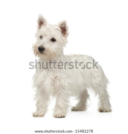 West Highland White Terrier (5 months) in front of a white background - stock photo