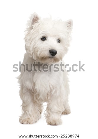 West Highland White Terrier (8 months) in front of a white background - stock photo