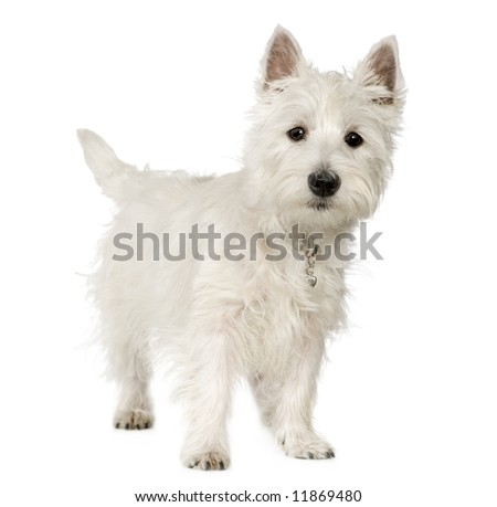 West Highland White Terrier (5 months) in front of white background - stock photo