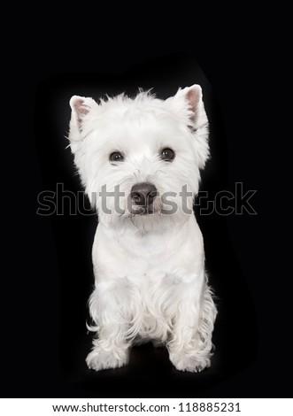 West highland white terrier on black background, Westie - stock photo