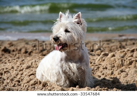 West Highland White Terrier on the beach - stock photo