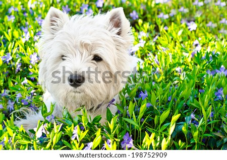west highland white terrier on the grass - stock photo