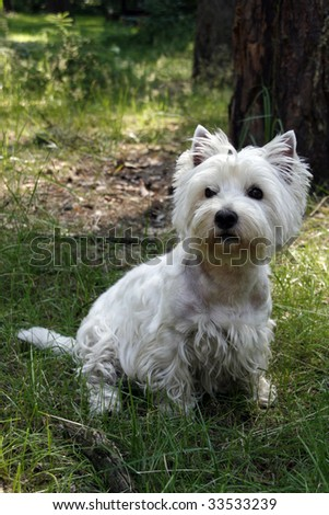 West Highland White Terrier - outdoor picture - stock photo
