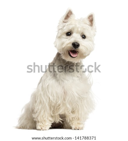 West Highland White Terrier panting, sitting, 18 months old, isolated on white - stock photo