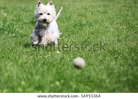 West Highland White Terrier playing with a ball - outdoor scene - stock photo