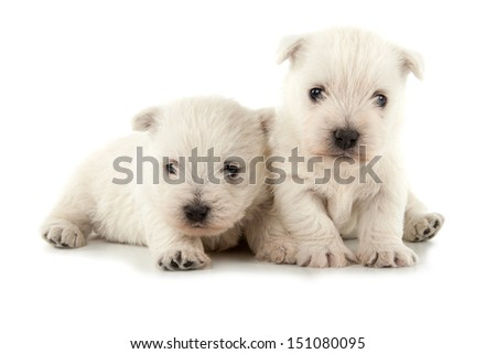 West Highland White Terrier puppies isolated over white background