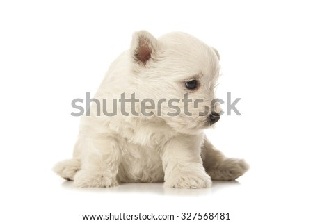 West Highland White Terrier puppy isolated over white background - stock photo
