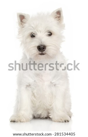 West Highland White terrier puppy sits on a white background - stock photo
