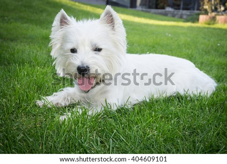 West Highland white terrier resting in the garden â?? little white dog