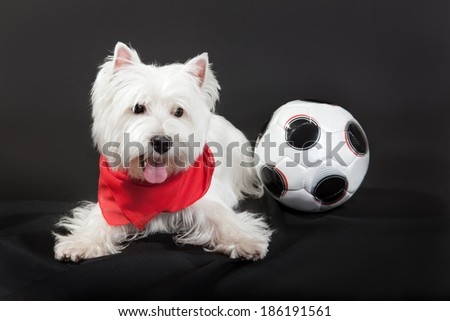 West Highland White Terrier seatedn on a black background