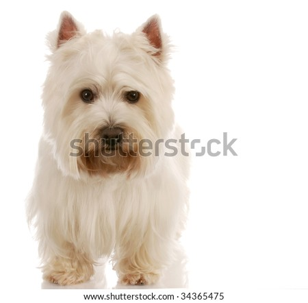 west highland white terrier standing with reflection on white background - stock photo